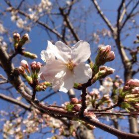 SoLeiL店の近隣の桜も開花しました